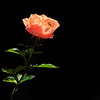 08-19-10 Yard - Rose and Bee