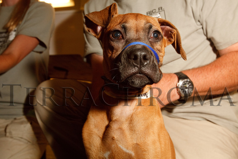 """(Arvada, Colorado, Aug. 28, 2010)<br /> Darla, a boxer mix.  """"Raise the Woof,"""" a benefit for the Foothills Animal Shelter, at The Mathews Collection in Arvada, Colorado, on Saturday, Aug. 28, 2010.<br /> STEVE PETERSON"""