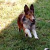 Peggy sheltie playing.