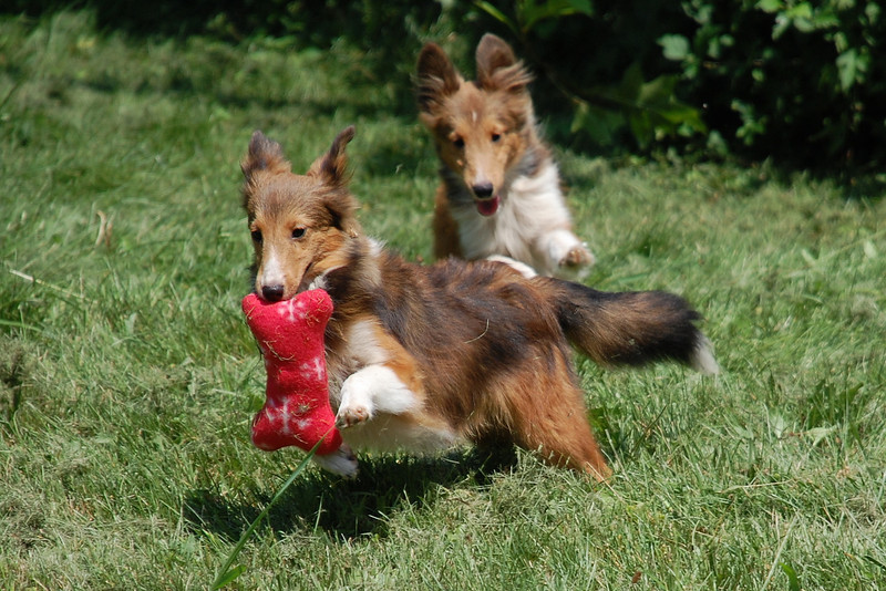 Peggy sheltie,with toy being chased by brother Jeff