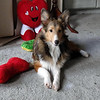 Peggy sheltie 6 months old.