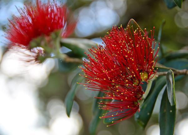 Pohutukowa flower