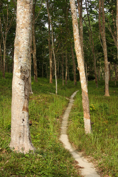 Our trail leads us onward through the rubber trees and deeper into the jungle.