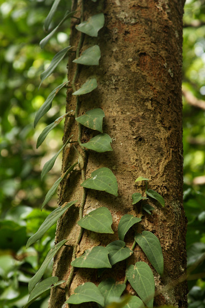 A vine climbs the smooth trunk of a tree, reaching for sunlight high above.