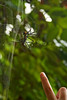 Tracy's finger lends some perspective to the size of this golden orb web spider in the Thailand jungle.