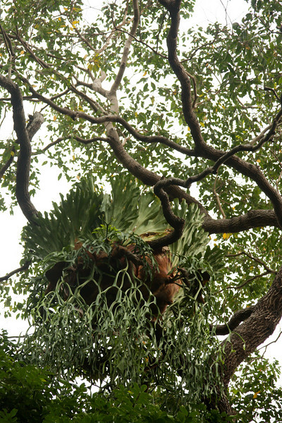A strange unidentified plant hangs out high overhead in the branches of a jungle giant, dangling a wavy root system below and with large leaves forming a sort of bowl above.  We can only assume there must be some sort of fairy sleeping in the soft bed of plant matter just out of sight.