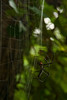 A golden orb web spider works on a new web near a jungle trail.