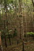 Tiers of rubber trees along this hillside demonstrate that this plantation has been in existence for a considerable amount of time.