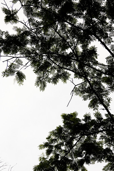 Leafy branches stand silhouetted against a cloudy sky as the evening rains approach our location.