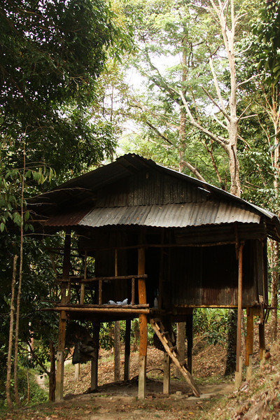 A hut rests deep in the jungle, presumably offering protection from the elements for the rubber tree workers during the harvest season.