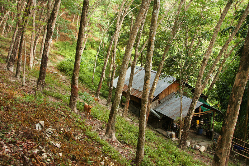 A humble home rests deep in the hilly terrain of this rubber tree plantation, secluded entirely from the noise and bustle of the town below.