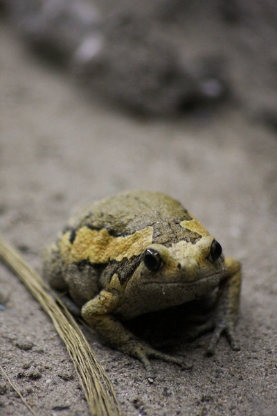 A fat frog looks at the camera from its strategic position at the receiving end of a procession of ants.