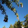 Lots of sappy pine cones