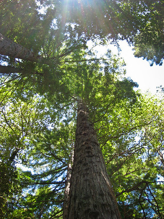 Tall awesome Redwood Trees