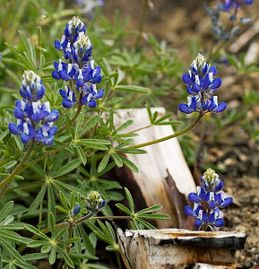 Lupine after the burn.