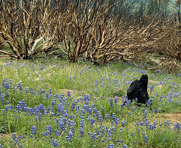 """""""Earth has no sorrow that Earth cannot heal."""" - J. Muir. Lupine nourished by the ashes of last year's """"controlled"""" burn Foresta fire. Hope the Gulf can recover as easily."""