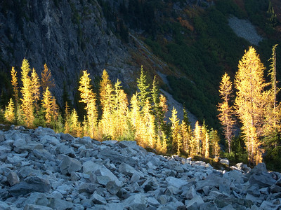 Golden Larch
