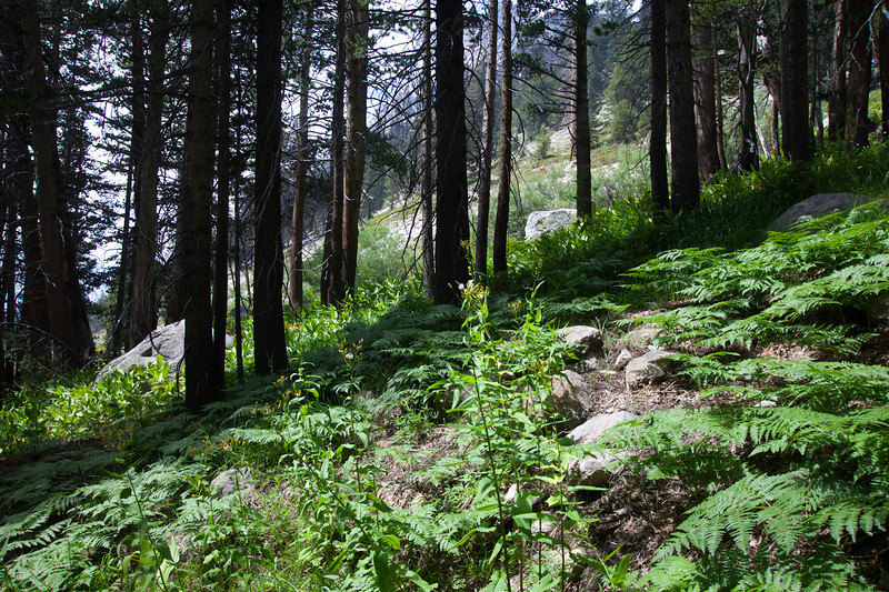Ferns above Vidette Meadow