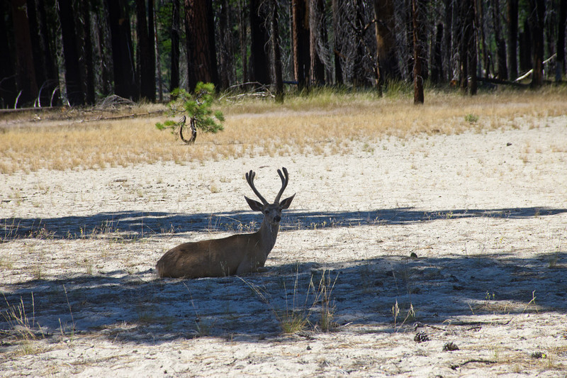 Deer resting in the shade