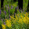 Goldenrod and fireweed, thriving in burnt-out area