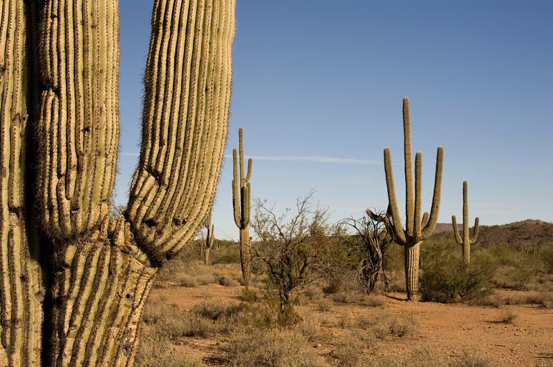 """Der Staat Arizona's hat seit den letzten paar Jahren ein Gesetzt nachdem es illegal ist auf die Kakteenarme zu schiessen. Strafe ist $100000.00. <br /> Ein Idiot dem das egal war stand unter so einem Arm und hat doch mit der Schrotflinte drauf geschossen...Resultat, der Arm brach ab und hat den Typen erschlagen...<br /> Wer mir nicht glaubt...hier ist ein link: <a href=""""http://www.darwinawards.com/darwin/darwin1994-11.html"""">http://www.darwinawards.com/darwin/darwin1994-11.html</a>"""