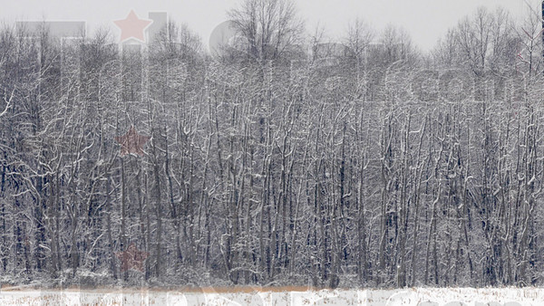 First blast: Sassafras trees stand blasted from the east wind snowfall Saturday morning.