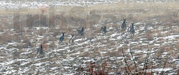 High tailing it: A small herd of deer flee to safety though a patchwork of snow and open filed.