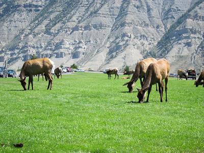 Elk wandering in to town