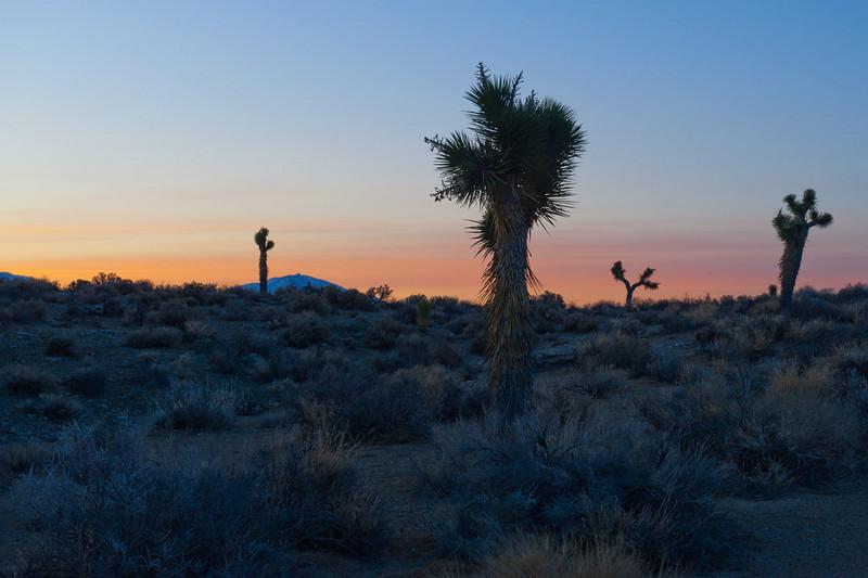 Joshua trees, shortly after sunrise.