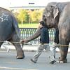 Elephants heading to Cambridge.