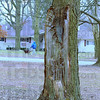 Aging: A maple tree with half its trunk shorn off stands in the median of Ohio Boulevard east of Brown Avenue.
