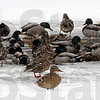 Flocking together: Mallard ducks take advantage of a little open water at Dobb's Park Monday afternoon.
