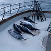 Das ist die gesamte Ausbeute von 3 Tagen angeln...Joshi hat gleich 2 gefangen und viele der 12 Leute sind leer ausgegangen...