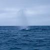 Gleich zwei davon...das ist das erste Mal fuer mich das ich einen Wal gesehen habe...in freier Wildbahn...