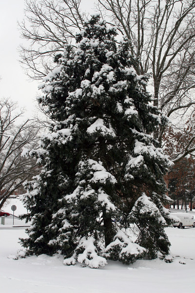 A snowy evergreen tree outside the DCC.