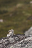 A lone pika stands out against the grassy walls of the valley.