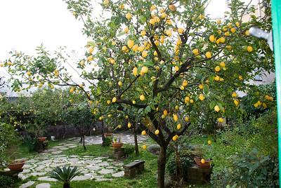 Lemon trees outside our room in Sorrento.