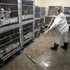 Cleaning: Terre Haute Humane Shelter worker Katrina Bendzsa works in a puppy holding area of the shelter Thursday morning as she prepares the facility for opening.