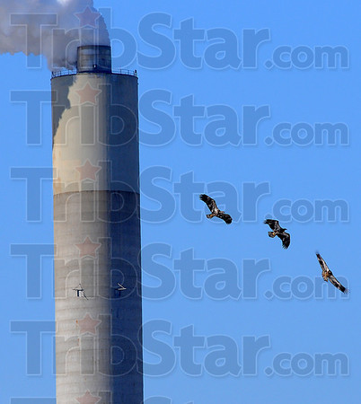 Child's play: Three juvenile Bald Eagles soar through the skies near the Cayuga Generating Station in Vermillion County Saturday afternoon. Duke Energy hosts their annual Eagle Viewing Day for members of the public to get a closer look at our national symbol.