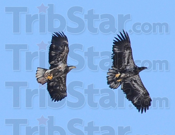 Tag: A pair of juvenile bald eagles soar over the Wabash River near the Duke Energy Cayuga Generating Station Saturday afternoon.