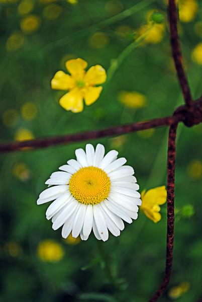 Daisy near the fence