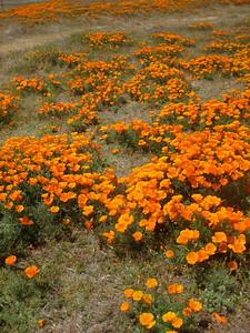 Antelope Valley and a LOT of Poppies