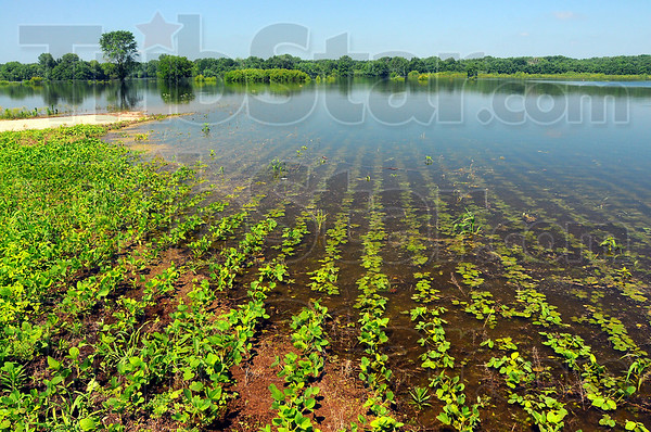Losses mounting: Seep water covers young soybean plants in the Wabash River bottoms along Bowen Drive in southern Vigo County. If the rains hold off and the river levels receed, further crop losses will be avoided.