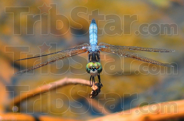 Dashing: A Blue Dasher dragonfly rests on a dead twig over the swollen waters of the Wabashiki Wetlands Saturday afternoon.