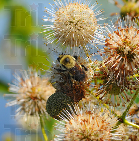 Pollenator: A bee searches for vectar on a blooming bush in the Wabashiki Wetlands Saturday.