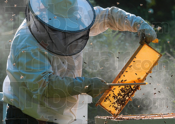 Tribune-Star/Joseph C. Garza<br /> A brush with sweetness: Brad Bowen gently brushes honeybees off of a frame in order to remove it for honey extraction Thursday at the Bowens' home in western Vigo County.
