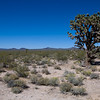 Ein Joshua Baum im Mojavi Natual Preserve