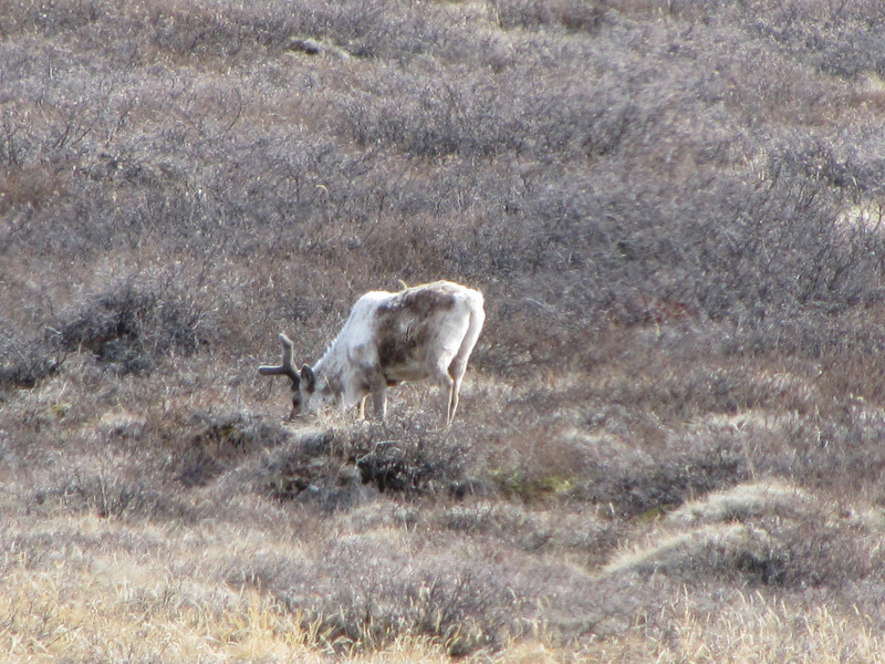 So does reindeer...<br /> <br /> Photo: Thomas Blunier