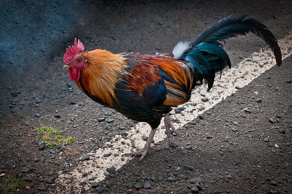 In the 1990's a giant hurrican hit Kauai and one of the results was that numerous chickens escaped from their pens. The entire island is filled with Wild Chickens roaming all around. At the parking lot at one of the lookouts we found many of them trying to attack us for food!