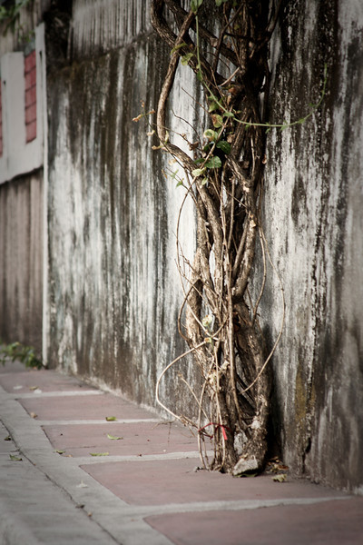 A gnarled vine rises up directly out of the concrete sidewalk alongside the road.